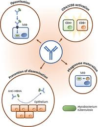 Schematic representation of some of the proposed mechanisms of Ab action agains MTB infection